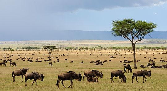 Gnu-Herden in der Nähe des Sayari Camps, Mara-Fluß/Nördliche Serengeti © Foto: Marco Penzel | Outback Africa Erlebnisreisen
