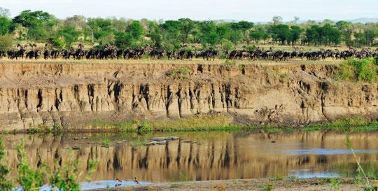 Gnus vor der Überquerung des Mara-Flusses in der nördlichen Serengeti © Foto: Marco Penzel | Outback Africa Erlebnisreisen