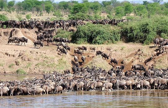 River Crossing: Gnus überqueren den Mara-Fluß in der nördlichen Serengeti © Foto: Marco Penzel | Outback Africa Erlebnisreisen