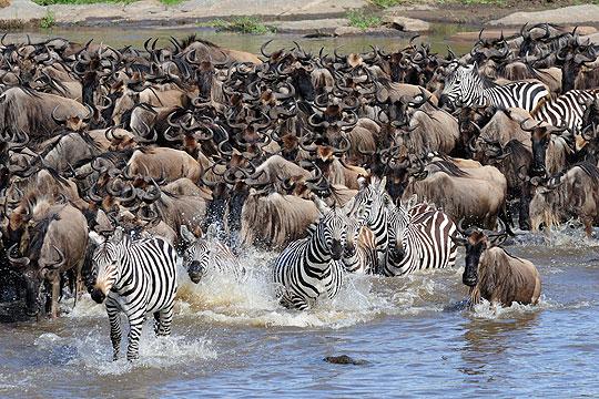 River Crossing: Gnus und Zebras überqueren den Mara-Fluß in der nördlichen Serengeti © Foto: Marco Penzel | Outback Africa Erlebnisreisen