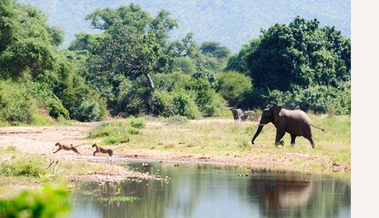 Elefant verjagt Löwen beim Chiawa Camp, Lower Zambezi NP © Foto: Marco Penzel | Outback Africa Erlebnisreisen