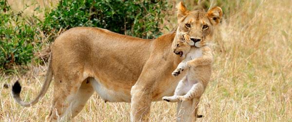 Löwin mit Jungem in der Serengeti © Foto: Marco Penzel | Outback Africa Erlebnisreisen