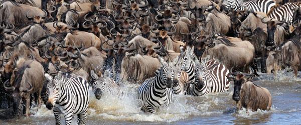 Zebras und Gnus überqueren den Mara-Fluss © Foto: Marco Penzel | Outback Africa Erlebnisreisen