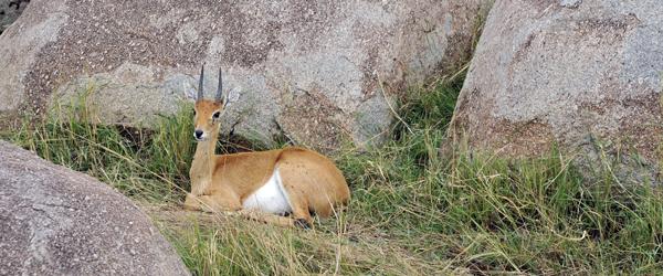 Grant-Gazelle in der Serengeti © Foto: Svenja Penzel | Outback Africa Erlebnisreisen