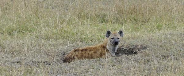 Hyäne am Mara River © Foto: Svenja Penzel | Outback Africa Erlebnisreisen