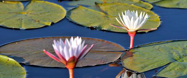 Seerosen gibt es im heimischen Gartenteich auch. Wenn sie den Wasserweg auf einer Mokoro-Exkursion im Okavango-Delta säumen, gefallen sie mir noch besser. © Foto: Marco Penzel | Outback Africa Erlebnisreisen