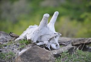Giraffenschädel im Selousgebiet © Foto: Svenja Penzel    Outback Africa Erlebnisreisen