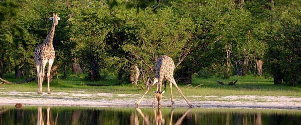 - giraff-1