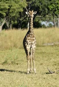 Junge Giraffe in der Shinde Konzession, Botswana © Foto: Marco Penzel   Outback Africa Erlebnisreisen