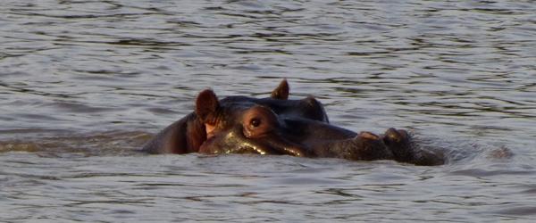 Flusspferd im Mara Fluss © Foto: Ulrike Pârvu | Outback Africa Erlebnisreisen