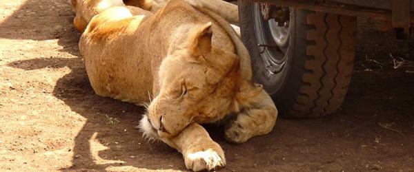 Löwensiesta im Ngorongorokrater © Foto: Angelika Krüger | Outback Africa Erlebnisreisen