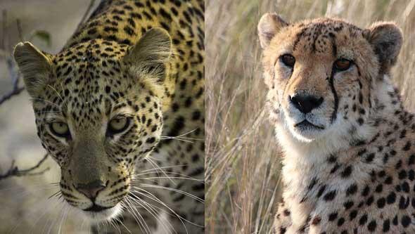 Leopard und Gepard © Fotos: Dana Allen | Wilderness Safaris/ Familie Daiminger