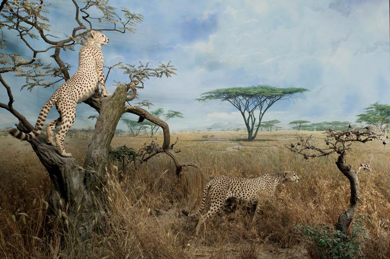 Neue afrikaausstellung im berseemuseum bremen outback Habitat deutschland