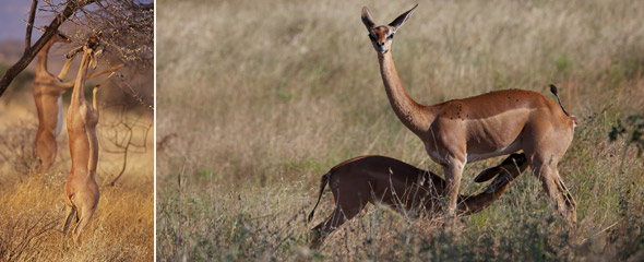 Gerenuks oder Giraffengazellen, links: in Samburu (Foto: Frederic Salein via Wikimedia Commons), rechts im Shaba Nationalreservat (Foto: Cheli&Peacock)