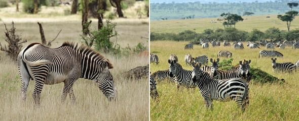 Grevyzebra im Lewa Wildschutzgebiet (links) und Steppenzebras in der Massai Mara (rechts). Fotos: Marco Penzel | Outback Africa Erlebnisreisen