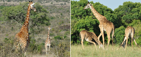 Netzgiraffen in Loisaba (links) und Massaigiraffen in der Massai Mara (rechts). Fotos: Marco Penzel | Outback Africa Erlebnisreisen