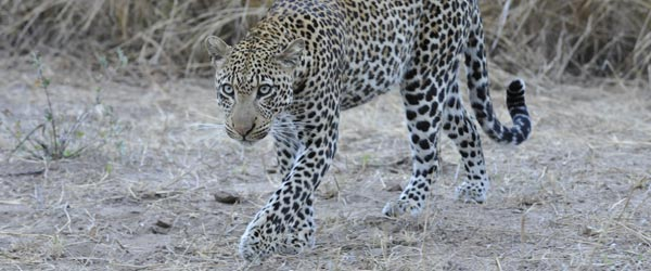 Leopard im South Luangwa Nationalpark. © Foto: Marco Penzel   Outback Africa Erlebnisreisen