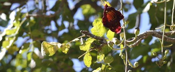 Die Blüte eines Leberwurstbaumes. © Foto: Marco Penzel | Outback Africa Erlebnisreisen