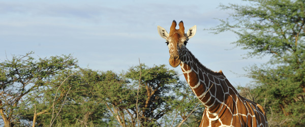 Netzgiraffe in Samburu © Foto: Svenja Penzel | Outback Africa Erlebnisreisen