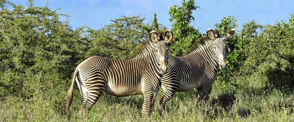 Lewa Conservancy, Grevy-Zebras © Svenja Penzel | Outback Africa Erlebnisreisen