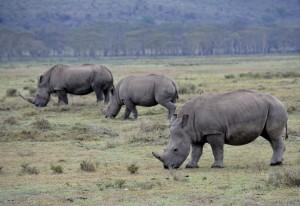 Nashörner im Lake Nakuru NP © Foto: Svenja Penzel | Outback Africa Erlebnisreisen