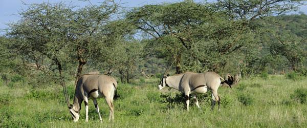 Beisa Oryx Antilopen im Samburu Wildreservat © Foto: Svenja Penzel | Outback Africa Erlebnisreisen