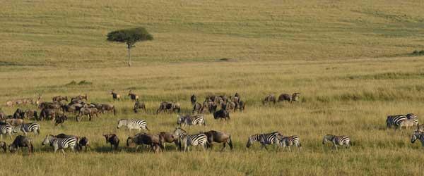Große Tierwanderung in der Massai Mara © Foto: S.Schlesinger | Outback Africa Erlebnisreisen