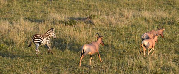 Kuhantilopen und Zebras in der Massai Mara © Foto: S.Schlesinger | Outback Africa Erlebnisreisen