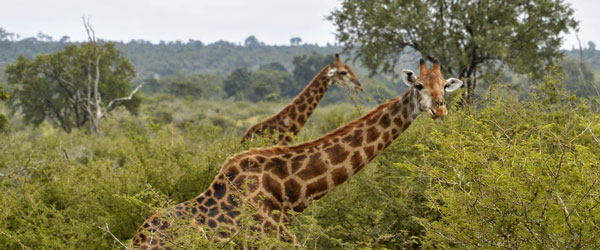 Giraffen im Krüger-Nationalpark © Foto: Doreen Schütze | Outback Africa Erlebnisreisen