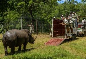 Rhino-Transport © Foto: &Beyond