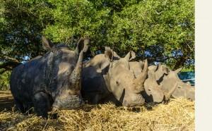 Breitmaulnahörner im Phinda Game Reserve © Foto: &Beyond