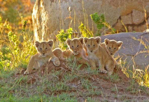Löwenkinder im Lamai-Gebiet © Foto: Judith Nasse | Outback Africa Erlebnisreisen