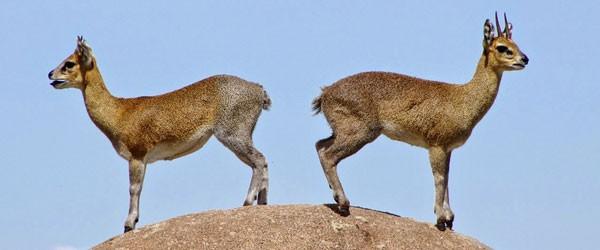Klippspringer auf einem Felsen in der Nordserengeti © Foto: Judith Nasse | Outback Africa Erlebnisreisen