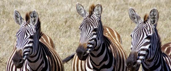 Zebras im Ngorongoro-Krater © Foto: Judith Nasse | Outback Africa Erlebnisreisen