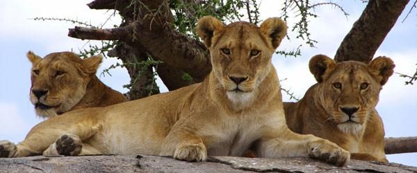 Löwenrudel auf einem Kopje, zentrale Serengeti © Foto: Judith Nasse | Outback Africa Erlebnisreisen