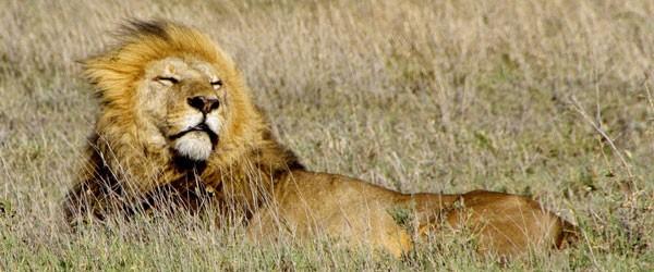 Löwe im Seronera Gebiet, zentrale Serengeti © Foto: Judith Nasse | Outback Africa Erlebnisreisen