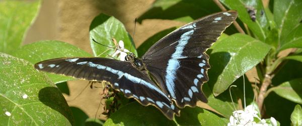 Schmetterling im Kipepeo Butterfly House © Foto: S. Schlesinger | Outback Africa Erlebnisreisen