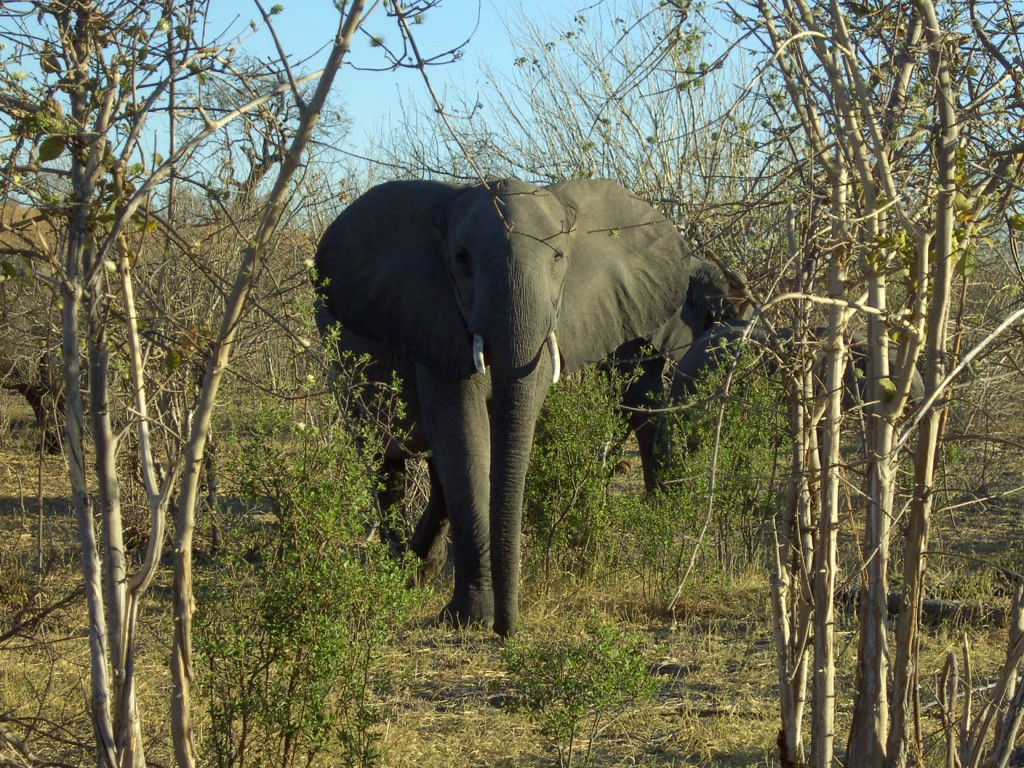 Elefant in Botswana © Foto: Ingolf Reinhardt