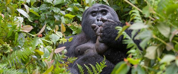 Gorilla im Bwindi Nationalpark © Foto: Marco Penzel | Outback Africa