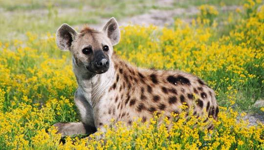 Hyäne in einem Blütenmeer.