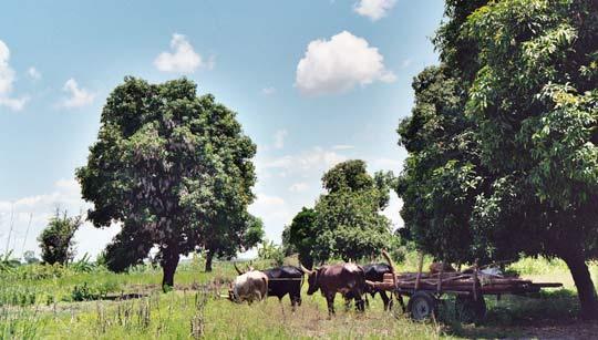 Ochsenkarren an der Straße der Magobäume (Sambia)