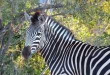 Zebra im Krüger Nationalpark  © Foto: Jens Döring | Outback Africa