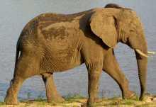 X Elefantenbulle im Krüger Nationalpark  © Foto: Jens Döring | Outback Africa