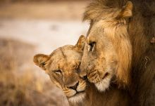 Löwen in South Luangwa  © Foto: Norman Carr Safaris