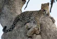Leopard in der Massai Mara  © Foto: Marco Penzel | Outback Africa