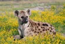 Hyäne in den Liuwa Plains.