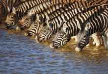 Zebras beim Trinken im Etosha Nationalpark  © Foto: Johan Swanepoel | Shutterstock