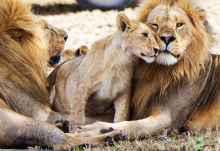 Löwen-Männchen mit Jungem in der Serengeti  © Foto: Wilkinson Tours