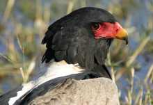 Gaukler (Bateleur) im Moremi Wildreservat  © Foto: Bush Ways Safaris
