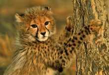 Junger Gepard auf Okonjima